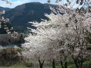 Sakura trên núi Nagano