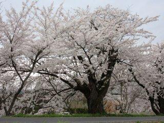 Many sakura trees look really old