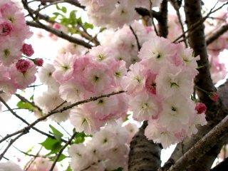 Hoa anh đào tươi đẹp tại công viên Ueno, Tokyo