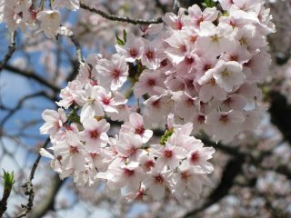 Sakura has a different color and shape of flowers