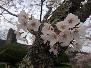 一つ一つの桜の花はこんな姿なのです
