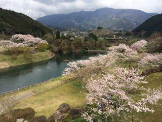 水辺を縁取る絢爛たる桜