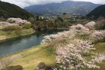 Glorious cherry blossoms along the shoreline