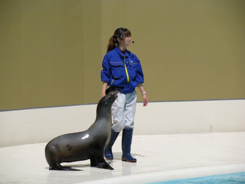 Sea lion is quite nimble in spite of the size and weight!