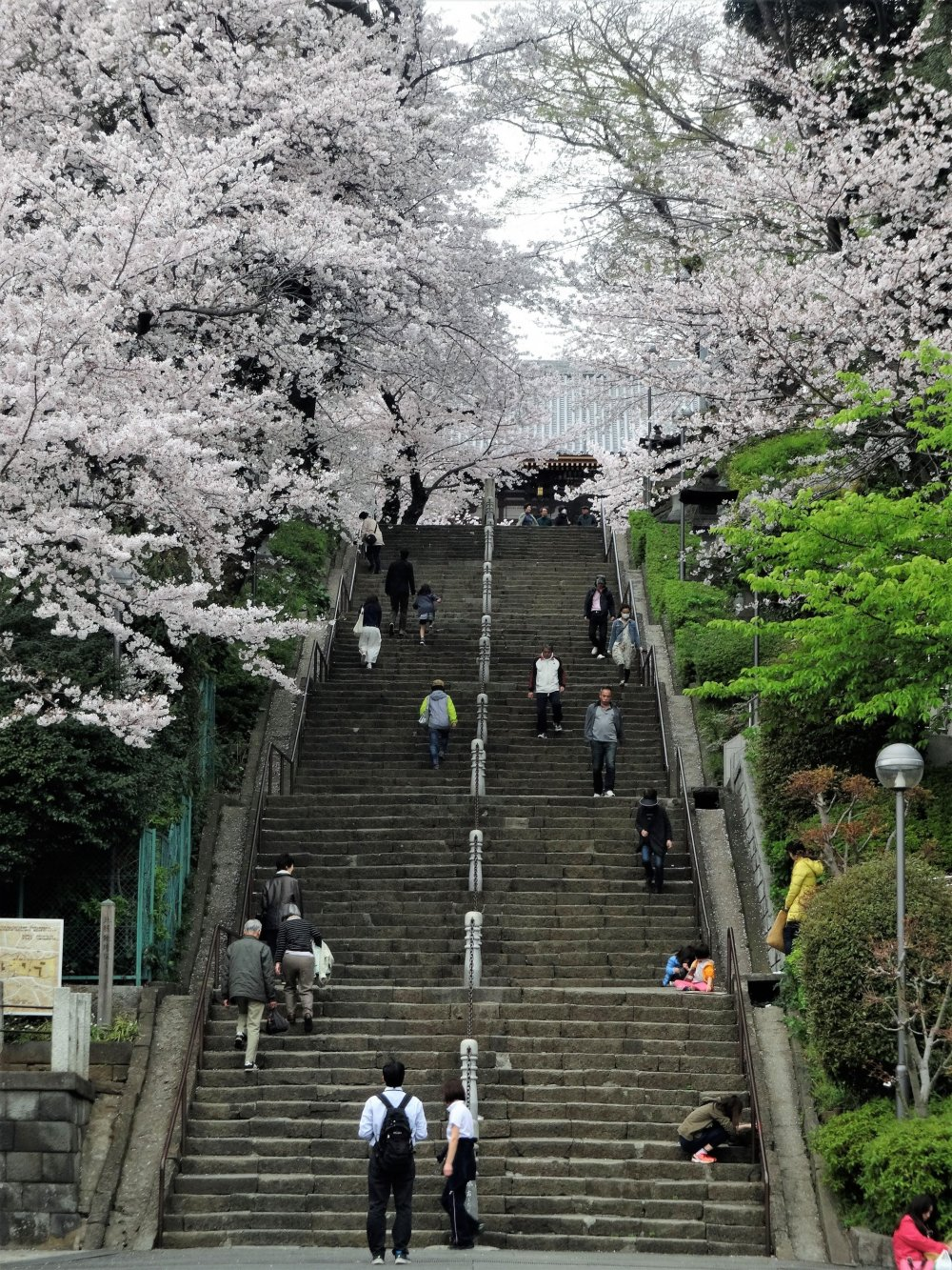 Cherry blossoms line the 100 steps that lead to Ikegami Honmonji