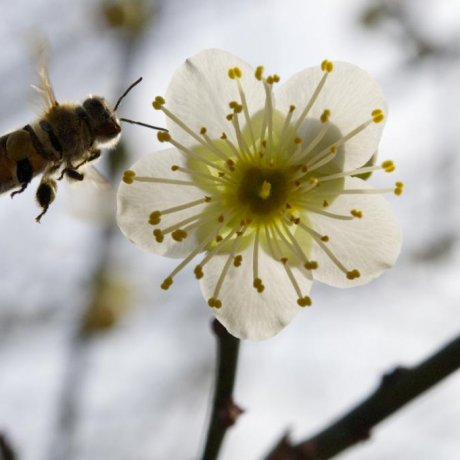 Shukkeien Plum Blossoms