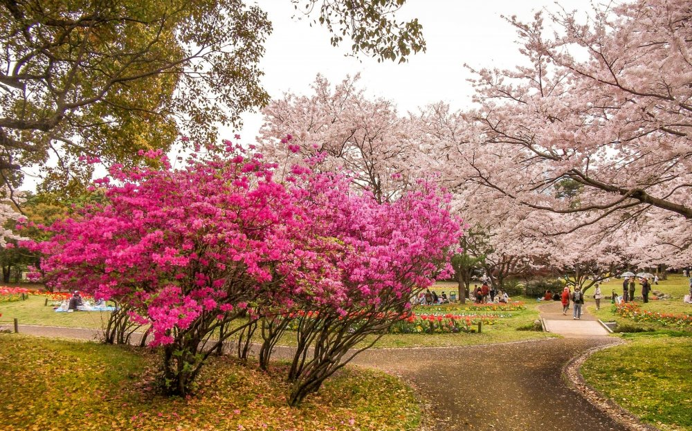 Beppu Park Cherry Blossoms - 大分 - Japan Travel - 日本旅游大搜索