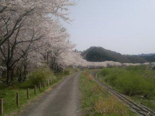 A long row of cherry blossoms near Miyako