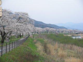 Cherry trees along the Sarugaishi River in Tono