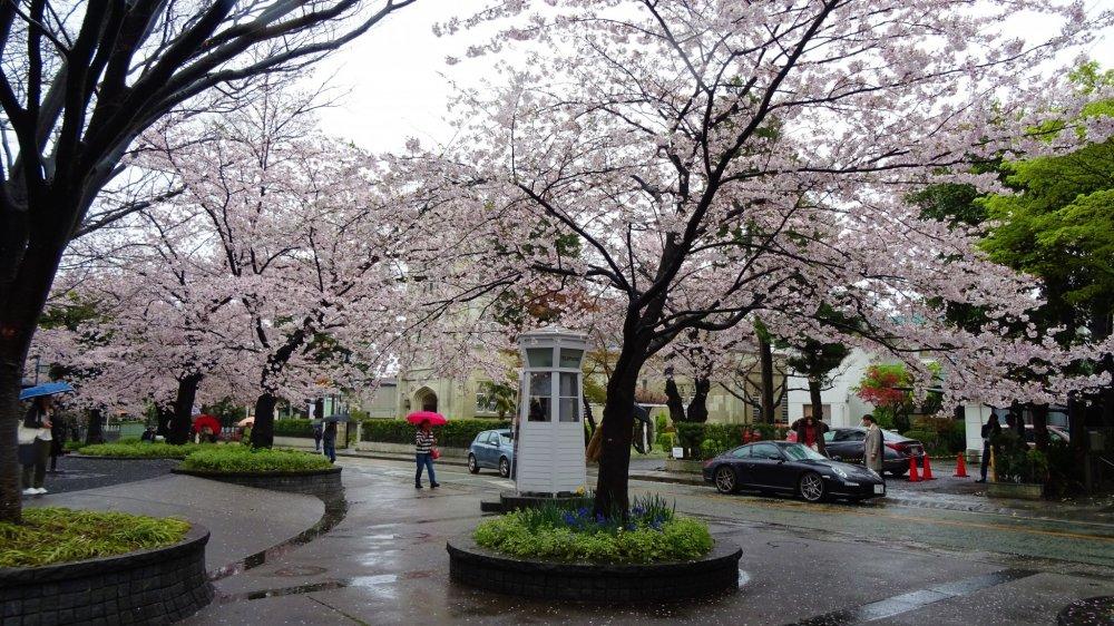 ยะมะเตะ บาฟฟ์ ท่ามกลางสายฝนและดอกซากุระ