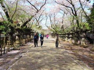 ในฤดูดอกซากุระ ทางเดินเข้าศาลเจ้าจะประดับประดาด้วยดอกไม้สีชมพู เป็นภาพที่งดงามมาก