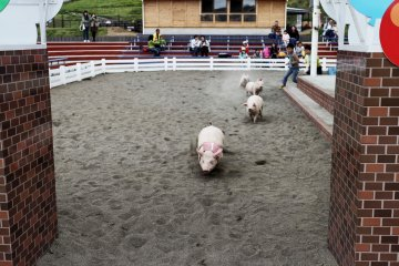 Children can enter the pig race and try to catch one