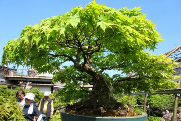 My Trip to Omiya Bonsai Village