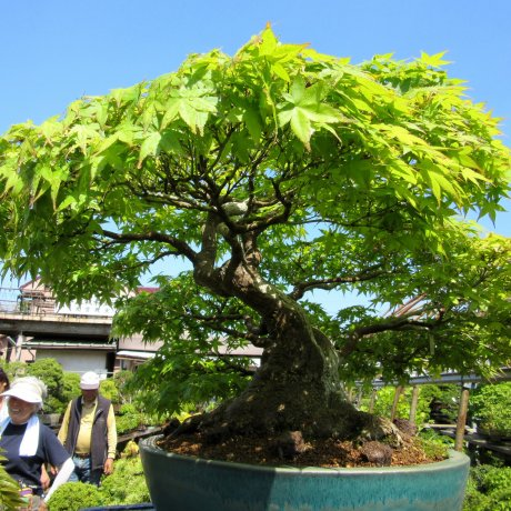 My Trip to Omiya Bonsai Village