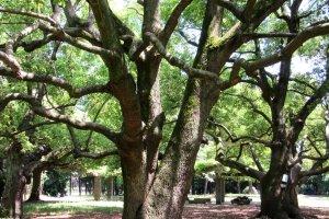 Разыскивая Bonsai Village, я оказалась в парке с гигантскими деревьями