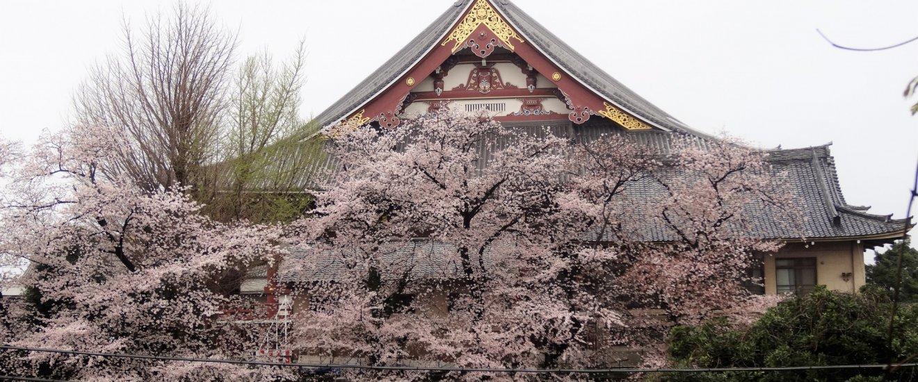 หน้าจั่วหลังคาอาคารหลักของวัดอิเคะกะมิ ฮอนมอน-จิ (Ikegami Honmon-ji) กับดอกซากุระ
