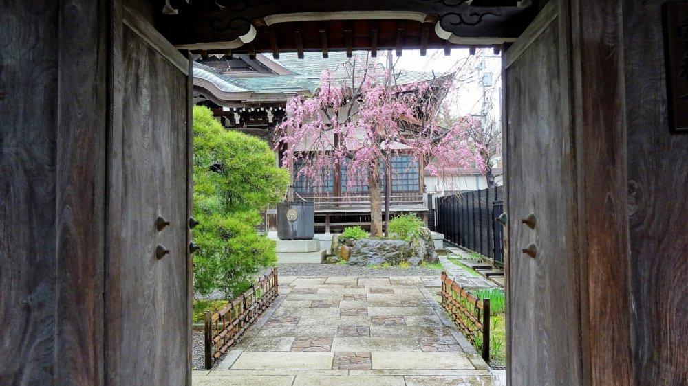 ประตูไม้ของวัดเป็นกรอบสวยให้แก่อาคารวัดและต้นซากุระ