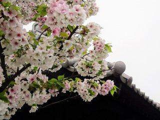 ซากุระต้นนี้มีดอกสีชมพูอ่อนจนเกือบขาว ดอกซากุระเข้ากันมากกับหลังคากระเบื้องญี่ปุ่น