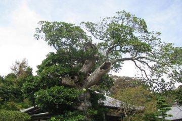 """Еще одно """"удивительное"""" для меня дерево"""