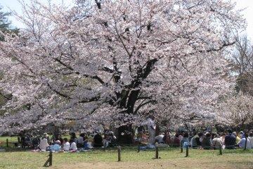 Inokashihara Park is especially popular during hanami season