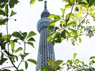Skytree и весенняя листва
