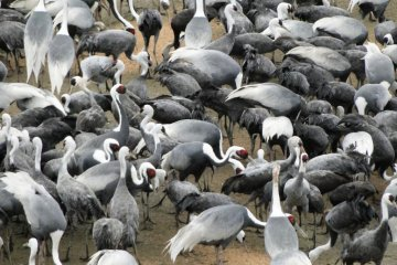 Izumi's Wintering Cranes