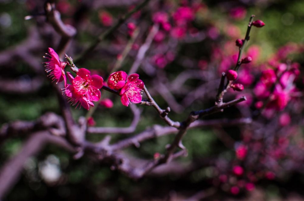 These deep pink blossoms are just beginning to bloom.
