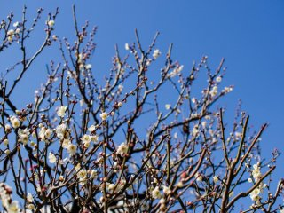 The colors of the blossoms provide a great contrast with a deep blue sky