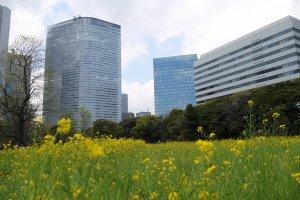 ทุ่งดอกเรพซีดกับกลุ่มตึกระฟ้าชิโอะโดะเมะ