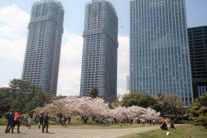 ต้นซากุสีชมพูหวานกับตึกหอคอยสูงตระหง่าน
