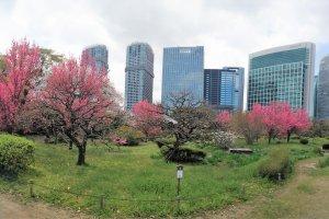 สวนพลัมท่ามกลางตึกระฟ้า