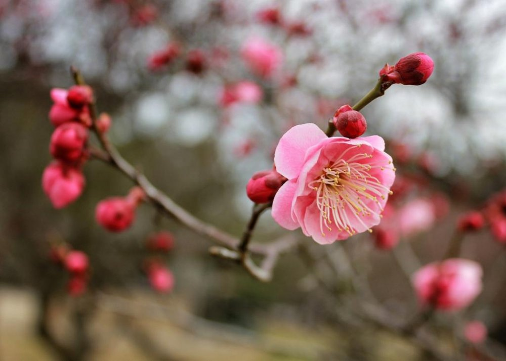 The shrine has expansive grounds, which includes an orchard of plum trees that flowers in late February. It's still very cold, but people picnic under the trees