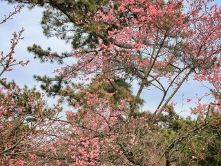 These plum blossoms aren't at their peak yet, but they make a fine show against the backdrop of pine
