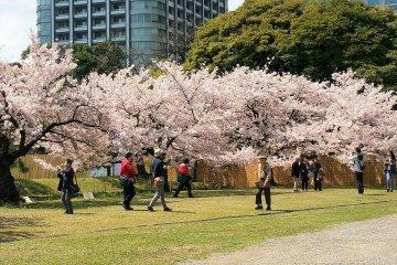 ชมดอกซากุระ ณ.สวนฮะมะริคิว
