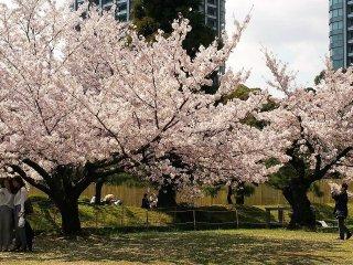 สวนฮะมะริคิวมีพื้นทีกว้างใหญ่พอสำหรับให้ผู้มาเยือน สัมผัสกับบรรยากาศอันงดงามของซากุระ