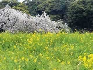 สีชมพูของดอกซากุระตัดกันอย่างงดงามกับสีเหลืองของดอกเรฟซีด