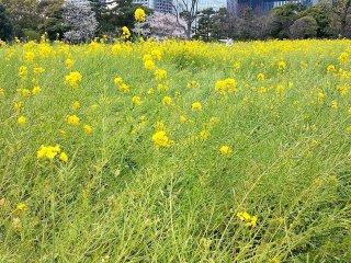 ดอกเรพซีดบานในช่วงเดือนมีนาคมและเมษายน