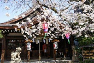 Cherry Blossoms in Kitano, Kobe