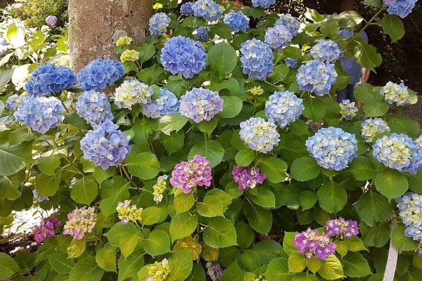 ดอกอะจิไซ (Ajisai) หรือ ดอกไฮเดรนเยีย ที่บางคนยกย่องให้เป็น \'ดอกไม้แห่งสายฝน\'