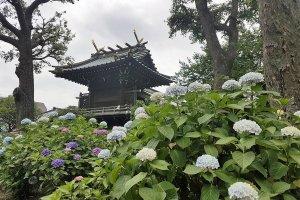 ศาลเจ้าฮะคุซานมีต้นไฮเดรนเยียอยู่หลายสายพันธ์