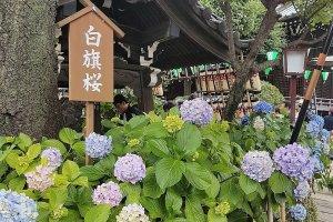 ดอกอะจิไซ (Ajisai) หรือ ดอกไฮเดรนเยียที่ศาลเจ้าฮะคุซาน (Hakusan)