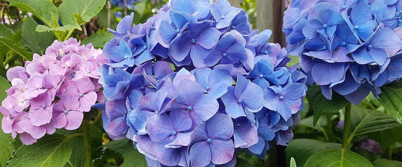 ดอกอะจิไซ (Ajisai) หรือ ไฮเดรนเยีย