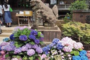 ศาลเจ้าฮะคุซาน (Hakusan) ของเขตบุนเกียว ซึ่งมีต้นอะจิไซถึง 3,000 ต้น