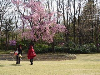 ต้นซากุระพันธ์ห้อยย้อยกลางลานเขียวสด