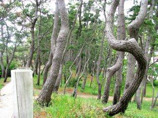 Роща наклонных деревьев у побережья