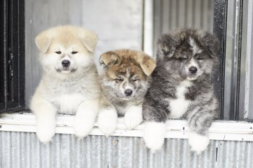 Different colors of Akita
