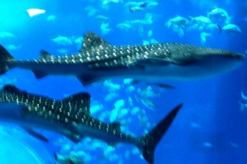 Giant Whale Sharks coexist with schools of fish at the Okinawa Churaumi Aquarium and Theme Park