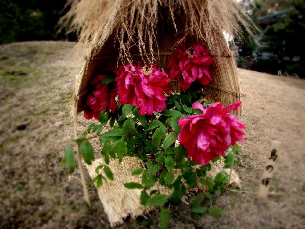 짚으로 만든 오두막은 강한 바람으로부터 모란을 보호한다