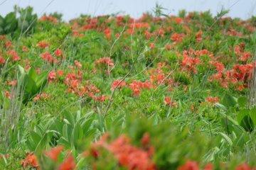 Kirigamine Plateau, Wild Azalea