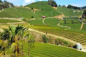 Champs de thé d'Ishitera
